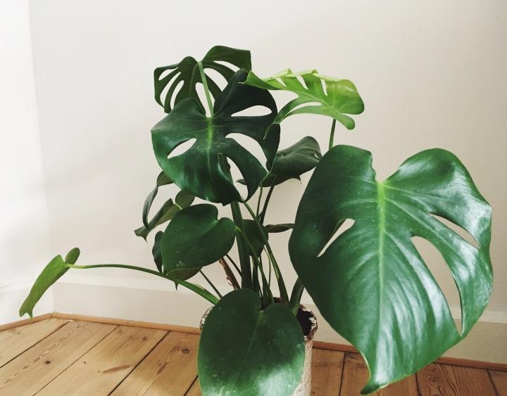 Atelier Krogbeck, plant, monstera